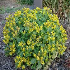 yellow perennials garden plants u0026 flowers the home depot