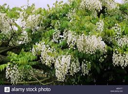 pergola with climbing white wisteria stock photo royalty free