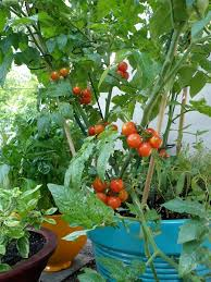 What Vegetables Need A Trellis What Can I Grow In A Pot Bonnie Plants