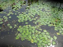 plants native to pennsylvania research summary tracking water chestnut and other invasive