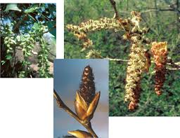 Cottonwood Tree Flowers - life of floodplain trees