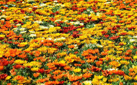 Flower Field Wallpaper - colorful flower field wallpaper 2427 1920 x 1200 wallpaperlayer com