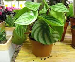 watermelon peperomia peperomia argyreia care and growing indoors