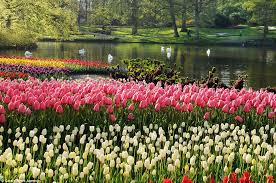 seven million bulbs bloom to mark the beginning of spring in the