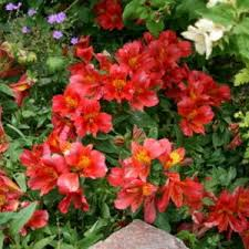 Peruvian Lily Peruvian Lily Alstroemeria Princess Lilies Isabella In The