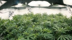 tops of indoor marijuana plants with fisheye lens stock footage