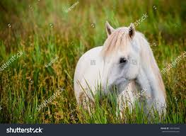 camargue white horse wallpapers one white camargue white horse tall stock photo 196105046