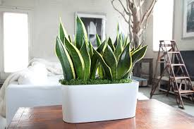 best plant for office best office plant snake plant nyc work pinterest office