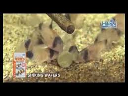 hikari sinking wafers review sinking wafers kyorin hikari tropicalfish diets youtube