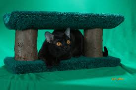 january 2013 the cat fanciers u0027 association u2013 blog