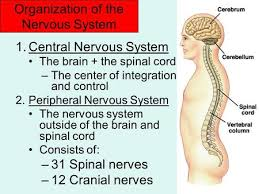 Anatomy And Physiology Nervous System Study Guide Neurons U0026 Nervous Systems Ppt Download