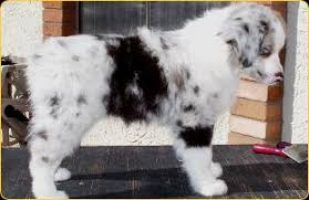 australian shepherd outline breed standard