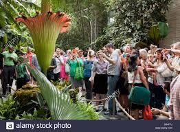 people viewing the rare corpse flower titan arum at the us