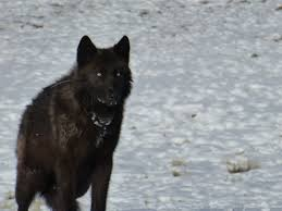 belgian sheepdog idaho idfg chief on cbd u0027s wolf population u0027teetering u0027 claim u0027hogwash u0027