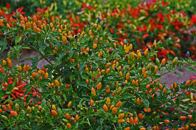 plantanswers plant answers peppers
