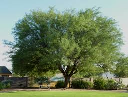 arizona fast growing trees scape tech landscaping design