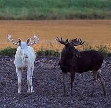 Alaska wild animals images 365 best moose images wild animals animal kingdom jpg