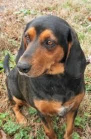 bluetick coonhound rescue georgia adoptable georgia dogs for september 16 2013 georgia politics
