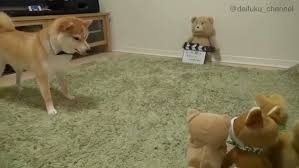 Dog Barking Meme - a vocal shiba inu dog becomes really confused when one of her toys