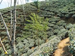 Rock Garden Darjeeling by Darjeeling Www Teatravelers Fr