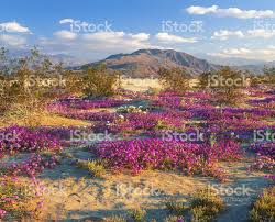 anza borrego deserts beautiful spring flowers in pink stock photo