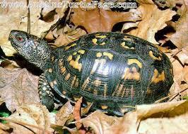 care sheet eastern box turtle