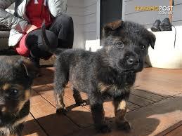 australian shepherd x rottweiler rottweiler x shepherd for sale in bentleigh east vic rottweiler