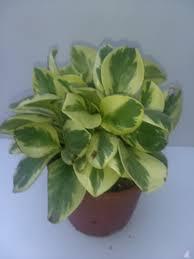 peperomia variegated buy indoor outdoor plants online lawnkart