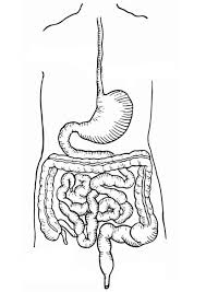 coloring digestive track coloring picture digestive track