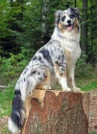 australian shepherd with german shepherd coloring book german shepherd puppies shepherd puppies and