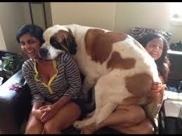 boxer dog vine 30 best dog vines new funny dog videos images on pinterest