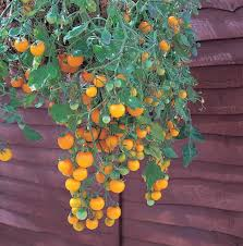 Hanging Plants For Patio 53 Best Hanging Tomatoes Images On Pinterest Cherry Tomatoes