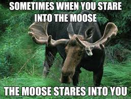 Moose Meme - sometimes when you stare into the moose the moose stares into you