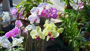 buy an orchid how to buy healthy orchids our complete guide