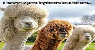 Alpaca Meme - 15 hilarious alpaca memes that will have you laughing all day i