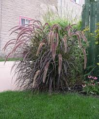 261 best ornamental grasses images on landscaping