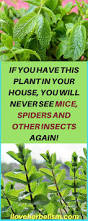 Where Do Mosquitoes Hide In Your Room by If You Have This Plant In Your House You Will Never See Mice