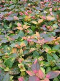 buy ornamental plants alternanthera leafy ornamentals photo