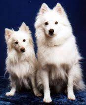 american eskimo dog yahoo american eskimo dog yahoo image search results american eskimo