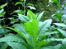 backyard tobacco growing garden with beautiful grown plants
