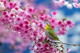 birds on flower branches cherry branch flowers beauty