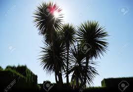 palms and hedge sun through small palm trees above a green