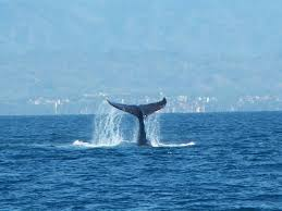 whale watching is a popular activity at the marietas islands off