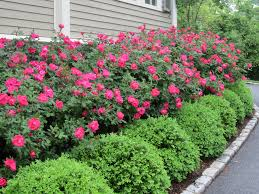 knockout roses with boxwood hedge in front of garden house http