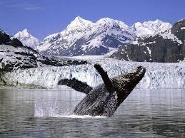 humpback whales jumping wallpaper