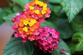 8 beautiful low maintenance garden flowers simplemost