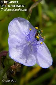 ohio native plants purple blooms what florida native plant is blooming today
