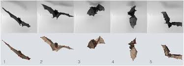 falling with style bats perform complex aerial rotations by