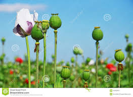 Opium by Opium Poppy Seed Capsule And Flower Stock Photo Image 43492621