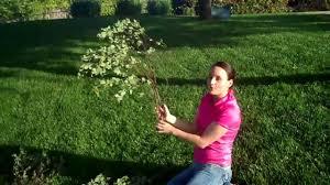 manzanita branches wholesale manzanita branches learn how to buy manzanita branches